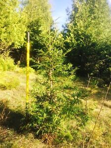 3'-4'-5' Cedar Trees, Great prices, Top quality