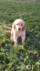 Golden Retriever Puppies- All Puppies are SOLD