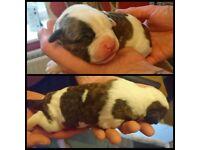 Jhonsons american bulldogs puppys