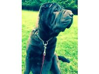 Male Shar Pei for sale