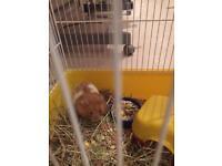 Free hamster