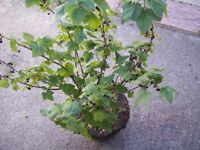 Black Current Plant - Organic Fruit