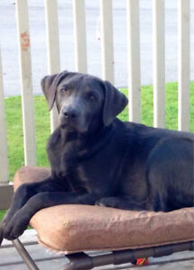 Silver Lab ISO forever home