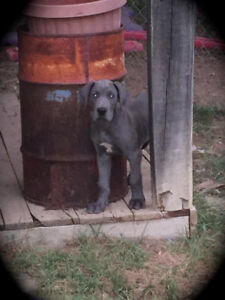 AKC Registered Great Dane Female & Great Dane Pups Available Now