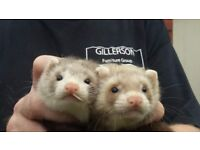 Baby ferrets ready now