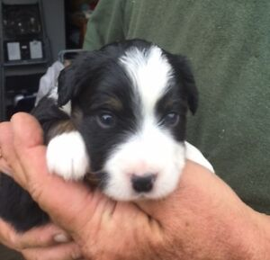 Toy and mini Australian Shepherd puppies coming available