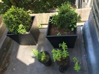 2 buxus and 2 little plants (mint and rosemary) in their pots