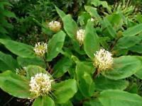 Ginger lily Hedychium ellipticum
