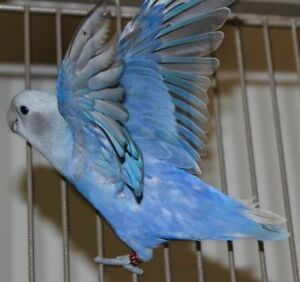 Lovebird w/ Cage For Sale