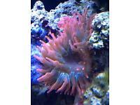 Marine reef rose tip bubble anemone