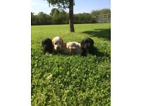 K1 cockapoo puppies