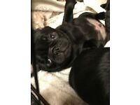 1 male kc pug puppy