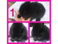 Lionhead x Mini Lop babies