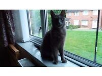 Russian Blue Male Cat with Pedigree
