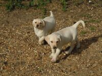 LABRADOR PUPPIES FOR SALE. Yellow girls available. Super family pets.