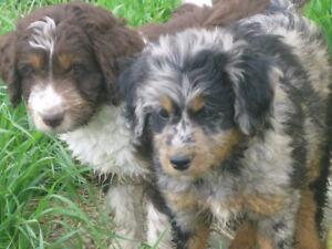 **Mini Aussie Doodle Miniature Australian Shepard X Mini Poodle