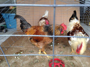 3 FREE roosters - may carry green egg gene (Easter Eggers)