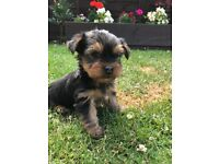 PEDIGREE YORKSHIRE TERRIER PUPPIES READY NOW LOVING HOMES ONLY
