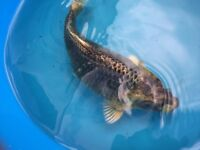 Ghost koi for sale - pond fish