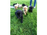 KC pedigree labrador puppies