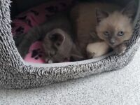 Two beautiful girl kittens must go together