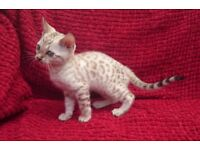 Bengal kittens,3 females availible at 12weeks old in 3rd September