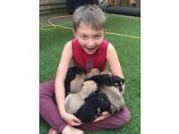 Rhodesian X Mastiff x Rack Russell Puppies