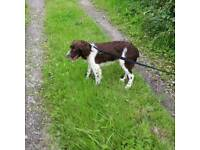 Liver and white springer spaniel male