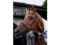 In hand show bridle cob-full