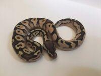 Royal (Ball) Python - Female Calico Pastel & Setup