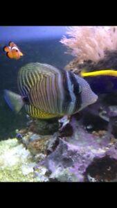 Sailfin Tang and Clown fish
