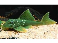 Green Phantom Pleco approx 4-5 inch size £25