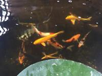 20 koi +pumps/filters/plants what ever u can take is included