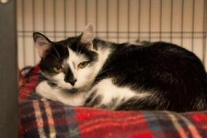 "Adult Female Cat - Domestic Short Hair: ""Goochi"""