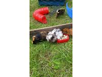 Guinea pigs for quick sale