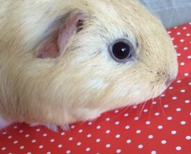 Beautiful boy guinea pig for sale