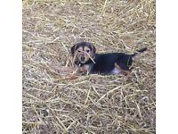 Beagle X puppies