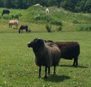 Icelandic sheep, ewes, rams, lambs, lamb, breeding stock