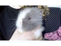Baby Double Maned Lionhead Rabbits For Sale