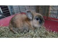 Male Lionhead Rabbit for sale with cage