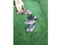 Beautiful French Bulldog Puppies KC Reg