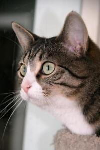 """Young Female Cat - Tabby (Gray): """"Athena"""""""