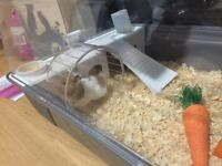 Syrian Hamster with Large cage, accesories, woodshavings and food