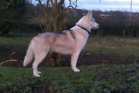 female husky cross malamute needs a forever home