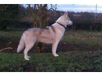 female husky cross malamute needs a forever home