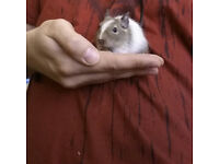 Baby Patched Degus For Sale
