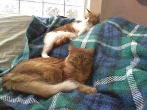 """Adult Female Cat - Domestic Medium Hair (Orange): """"Honey Bee"""""""