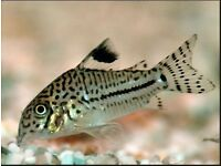 Corydoras Triluneatus Cory Tropical fish w/c Peru