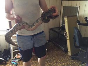 Python and tank