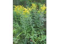 PERENNIAL SALIDAGO GOLDEN ROD - TALL YELLOW FLOWERS